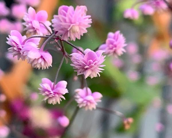 A picture of a Thalictrum 'Hewitt's Double'