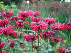 Some pink Monarda 'Cambridge Scarlet' flowers in a garden