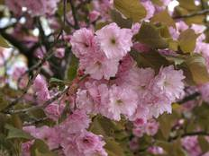 A close up of some pink Prunus flowers