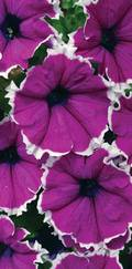A photo of Petunia 'Corona Amethyst'