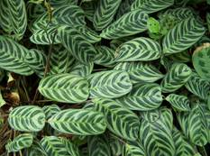 A group of green Ctenanthe burle-marxii Prayer plants with patterned green leaves