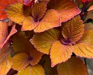 A photo of Coleus