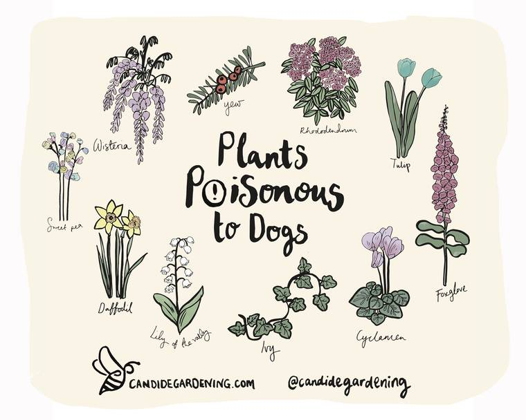 An illustration of ten plants poisonous to dogs