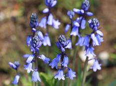 Some blue Hyacinthoides hispanica flowers