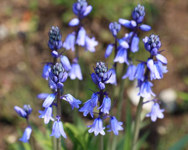 A picture of a Spanish Bluebell