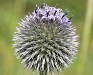 A photo of Blue Globe Thistle