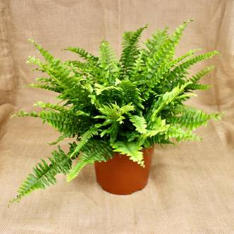 Boston Fern - 15cm pot (Nephrolepis, pet safe plant, air purifying plant, evergreen)