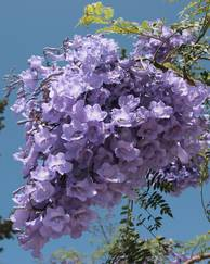 A photo of Jacaranda