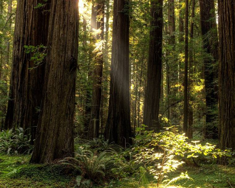 A grove of coast redwoods (Sequoia sempervirens)