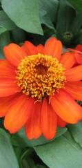 A photo of Zinnia 'Profusion Orange'