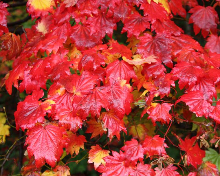 A maple tree with red leaves
