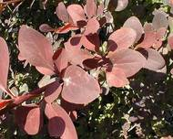A photo of Barberry