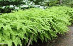 A photo of Maidenhair Fern