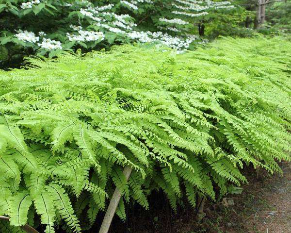 A picture of a Maidenhair Fern