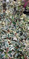 A photo of Abelia X Grandiflora 'Confetti'