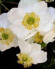 A photo of Bush Anemone