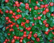 A photo of Cotoneaster