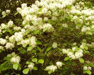 A photo of Fothergilla