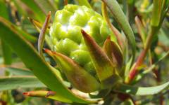 A photo of Leucadendron