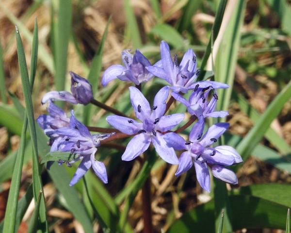 A picture of a Alpine Squill