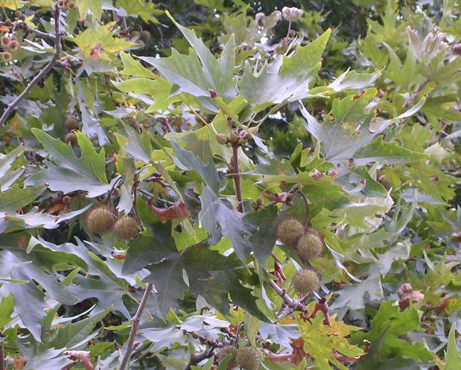 A close up of some Platanus orientalis leaves and fruits