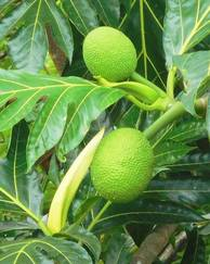 A photo of Breadfruit