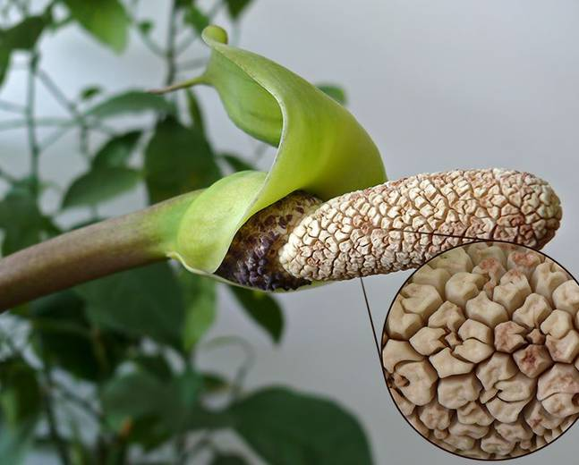 A close up of some Zamioculcas fruit surrounded by a green spathe