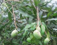 Mangifera indica fruit in India