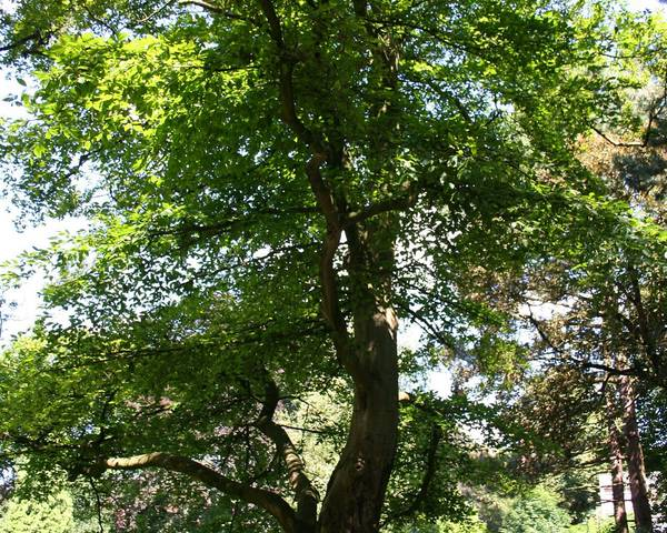 A picture of a American Beech