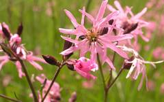 A photo of Ragged Robin