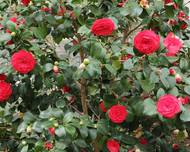 Camellia japonica-IMG 2051