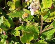 A photo of Rough comfrey