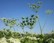 A photo of Hogweed