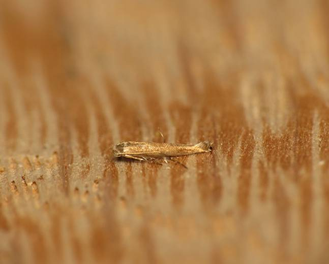 A close up of a Lyonetia clerkella apple leaf miner on a wood background