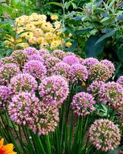Mega Bee bundle 5+ months of flowers, 177 bulbs, FREE UK delivery