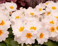 A photo of Polyanthus 'Showstopper'
