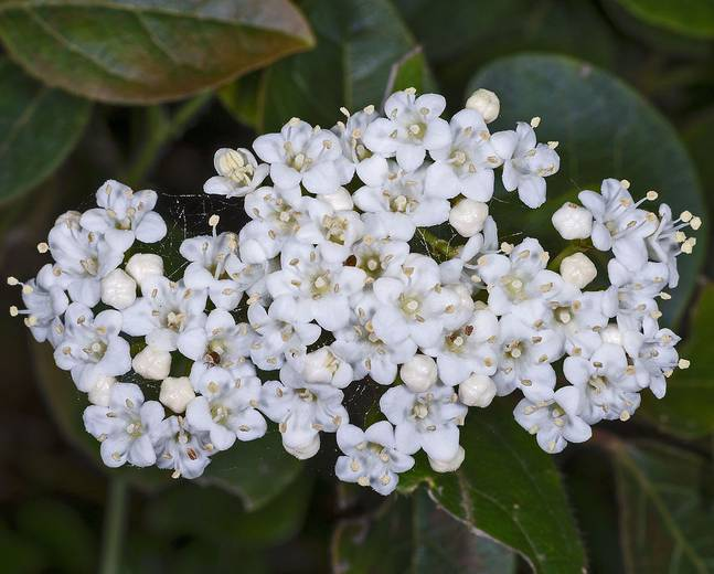 A close up of some Viburnum tinus flowers in a garden
