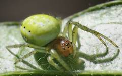 A photo of Cucumber Green Spider