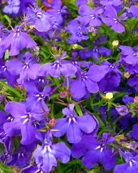 A photo of Lobelia