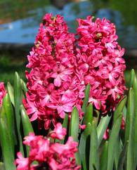 A photo of Hyacinth 'Jan Bos'