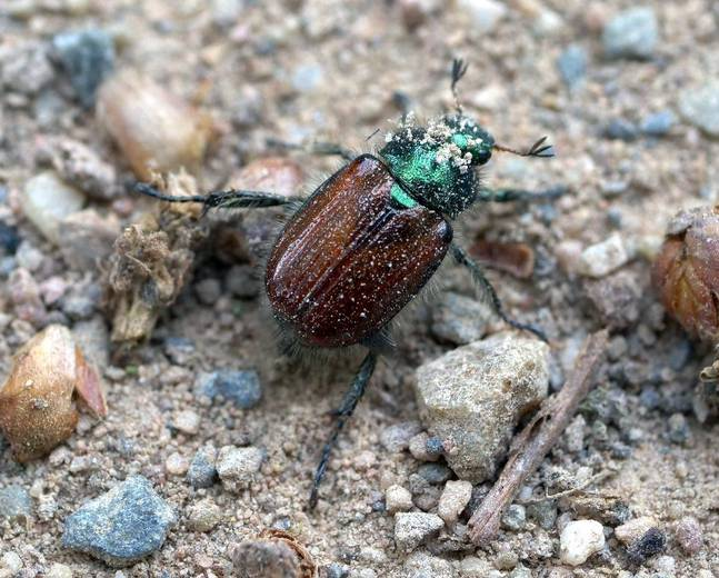 A close up of Phyllopertha horticola Garden Chafer Beetle