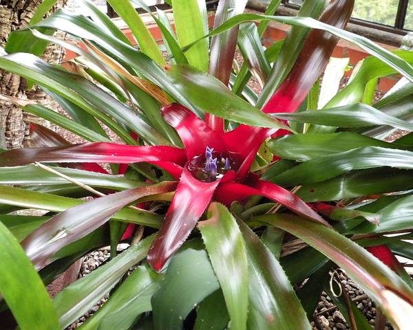 A picture of a Blushing Bromeliad