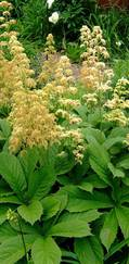 A photo of Rodgersia