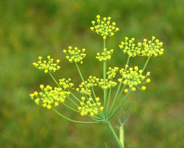 A picture of a Fennel