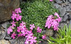 A photo of Alpine Soapwort 'Bressingham'