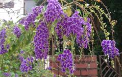 A photo of Duranta