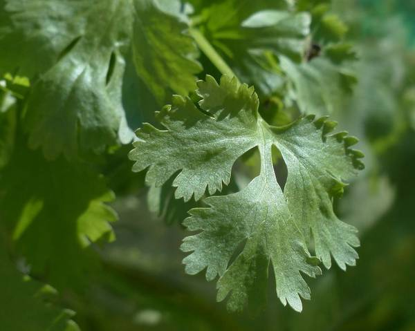 A picture of a Coriander