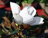 A photo of Large - Flowered Magnolia