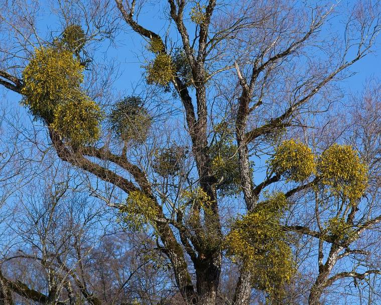 Mistletoe growing in several clumps on a host tree