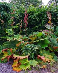 A photo of Ornamental Rhubarb
